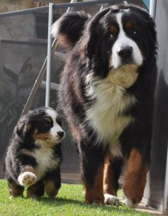 Bernese Mountain Dog With Her Puppy