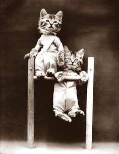 """""""Cats in coveralls on chin-up bar."""" Photo by Harry Whittier Frees, patient poser of anthropomorphic puppies and kitschy kittens(more pins at beginning of board) Cute Kittens, Cats And Kittens, Kittens Playing, Baby Animals, Cute Animals, Animal Gato, Miniature Schnauzer Puppies, Schnauzer Puppy, Interesting Animals"""