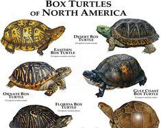 Box Turtles of North America Poster Print – Box Turtle Care Tortoise Care, Tortoise Turtle, Terrapin, Land Turtles, Box Turtles, Kinds Of Turtles, Reptiles And Amphibians, Mammals, Box Turtle Habitat