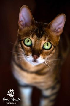 Amazing green eyes on a brown Bengal cat. Photo by Amanda Perris #bengalcat
