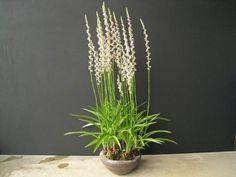 ●山野草盆栽●捩花●ネジバナ●モジズリ●草丈約22㎝_大株仕立ての見本鉢です。