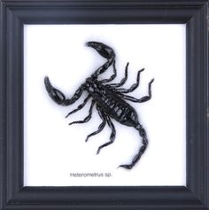 MINI BLACK SCORPION (COTTON MOUNTED) £15.99 On Sale Image of Mini Black Scorpion (cotton mounted) Image of Mini Black Scorpion (cotton mounted) Mini Black Scorpion (Hetrometrus sp.)  Mounted on cotton and in a black wall frame. The frame measures 12cm x 12cm