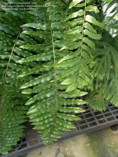 macho fern large sword fern - Fern Types