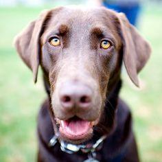Lucas, Labrador Retriever, Coopers Park, Vancouver, BC//the dogist
