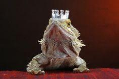 Bearded Dragons Wearing Hats