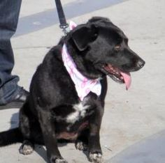 Sheba is an adoptable Labrador Retriever Dog in San Diego, CA. Meet awesome, beautiful Sheba! She is a calm, sweet girl who will be a very loyal and loving doggie to her special new owner. Sheba is a ...