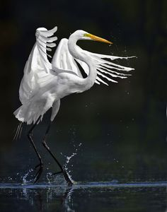 Picture of the Week—Great Egret | Science | Smithsonian