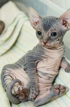 I don't normally care to post fur-less kitties. However, he's kinda cute