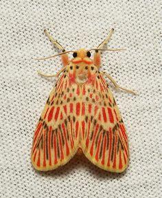 Footman Moth (Barsine orientalis, Lithosiini, Arctiinae) | Flickr - Photo Sharing!