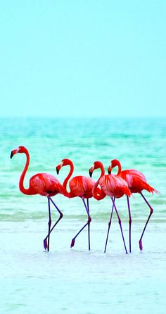 Flamingos on the beach at Isla Holbox Island, Mexico Beautiful Birds, Animals Beautiful, Animals And Pets, Cute Animals, Tier Fotos, Jolie Photo, Fauna, Pink Flamingos, Bird Feathers