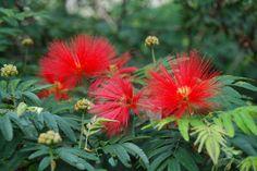 Caliandra ou Esponjinha (Calliandra brevipes): Descrição, Cultivo, Paisagismo, Uso Ornamental