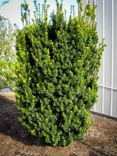 english garden shrubs and plants Hedges Landscaping, Garden Hedges, Modern Landscaping, Backyard Landscaping, Farmhouse Landscaping, Backyard Privacy, Landscaping Software, Evergreen Hedge, Gardens