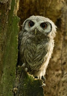 White Faced Owl by Chris S.