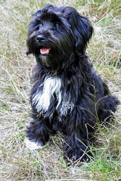 In memory of my wonderful dog, Toby who recently passed away. Toby looked almost like this but with short hair