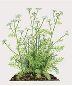 Kmín kořenný (Carum carvi)