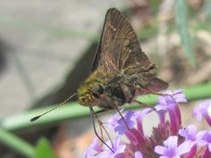 Little glassywing skipper. Look at that loooong tongue!