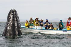 Ah, there you are. by Graham Racher on Fivehundredpx. A grey whale mother spyhops next to the boat. San Ignacio, BCS, Mexico.