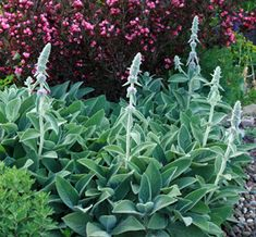 Stachys byzantina Big Ears
