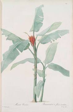 Musa coccinea. 1805 - 1816. From New York Public Library Digital Collections.