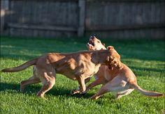pitbull dog muscular training