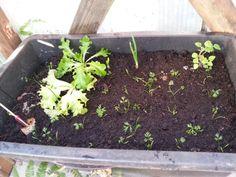 24.04.2014,  Salat, Möhren, Andenbeere, Melone