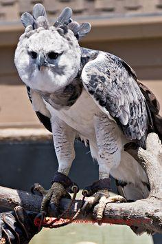 Harpy Eagle, San Diego Zoo