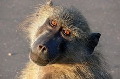 A bunch of baboons decided to take over a house in Betty's Bay near Cape Town in South Africa and began ransacking the place. A neighbor caught it all on video and managed to get them to leave. Read more & watch video: http://www.digitaljournal.com/article/350480