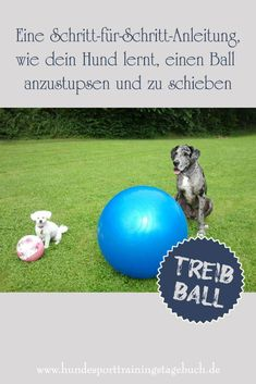 Driving ball basic exercises - Part Playful from pushing to pushing - the frond girl beagle dogs lovers obedience training pugs apso cats bull terriers chihuahua Baby Pugs, Baby Puppies, Bulldog Puppies, Dogs And Puppies, Yorkie, Teacup Chihuahua, Dog Lover Gifts, Dog Lovers, Irish Terrier