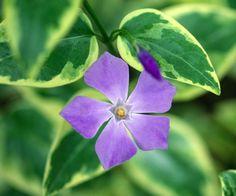 Vinca major 'Variegata' (Periwinkle) WELL-ROOTED PLANT