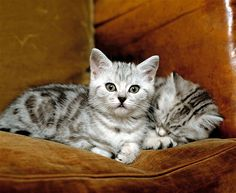 The silver tabby: These cuties are known for their stripes, dots, lines and swirling patterns that usually form a shape that resembles an M on the cat's forehead. Their name comes from the French word 'tabis,' which originally meant a 'rich, striped silk.'