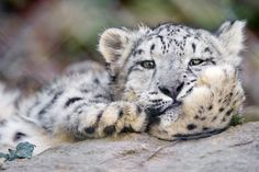 Comfortable snow leopard cub | Flickr - Photo Sharing!