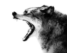 Intense Gray Wolf Portrait Photo  8x10 Black and by StephsShoes, $20.00