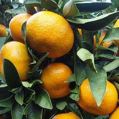 Louisiana Satsumas- delicious oranges ! and easy to peel