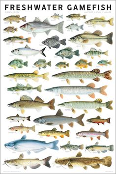 Freshwater Gamefish of North America wall poster