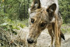A curious gray wolf from the Lookout Pack in northeast Washington encounters a trail-cam. Trail-cam photos like this can help wildlife officials document wolf presence and estimate pack composition, reproductive status and territory use.
