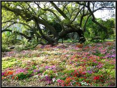 Field of Flowers Rip van Winkle in New Iberia Louisiana