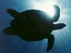 Conservation of Hawksbill Sea Turtles