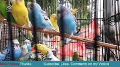 Beautiful Colored and Different types of Australian Parrots – Meta Videos Australian Parrots, Different Types, Movies Online, Videos, Color, Beautiful, Colour, Colors, Video Clip