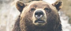 Bear safety is a must-know when hiking and camping in Yellowstone, Grand Tetons, Montana, Idaho and Wyoming. Learn proper bear safety to assure your safety in bear territory. Saguenay Quebec, Otto Von Bismarck, Free High Resolution Photos, Bear Wallpaper, Nature Wallpaper, Iphone Wallpaper, Bear Face, Responsive Layout, All Nature