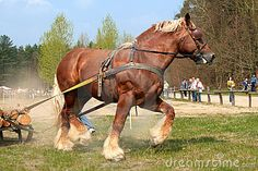 colorful pictures of draught horses   The Draught Horse - The Sudden Effort - Contest Royalty Free Stock ...