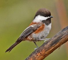 CHESTNUT BACKED CHICKADEE | Chestnut-backed Chickadee Credit: Eugene Beckes