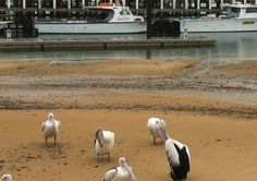 Get up close and watch the pelicans feeding on the San Remo foreshore. #PhillipIsland #beach