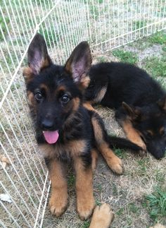 German Shepherd puppy!!! I want both please!!