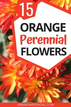 Orange perennial flowers are perfect for brightening up flower gardens and containers. Here are 15 beautiful orange perennials to plant in your flower garden. Hardy Perennials, Flowers Perennials, Flower Gardening, Organic Gardening, Gardening For Beginners, Gardening Tips, Red Hot Poker Plant, Butterfly Weed, Soil Improvement