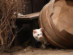 Twitter / nekozamuraiinfo: 玉之丞さま、なにかを盗み食いされたご様子です。こらっ、はしたない。 #猫侍 Neko, Adorable Animals, Cats And Kittens, Cats, Cute Animals