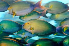 Yellowfin surgeonfish. Photo by Brian Skerry.
