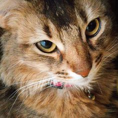Momo #cat #somalicat #somali #instacat #coolcat #beautiful #ruddy #catsofinstagram #catstagram #cute #catlover #cat_features #instacute #catface #猫 #ソマリ猫 #ソマリ #ソマリルディ #ねこ #ネコ #猫顔アップ by a39resn