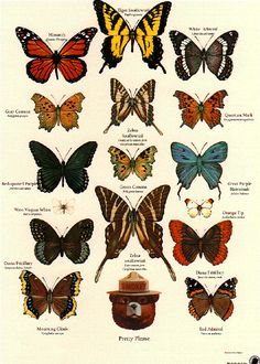identification poster from the U. - Butterfly identification poster from the U. Insect activity, Apologia Flying C -Butterfly identification poster from the U. Butterfly Species, Blue Butterfly, Butterfly Crafts, Vintage Butterfly, Monarch Butterfly, Butterfly Identification, Art Papillon, Insect Activities, Nature Posters