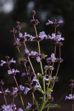 Salvia brandegei, Brandegees Sage or  Island Black Sage
