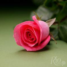 Rio Roses - Orlando